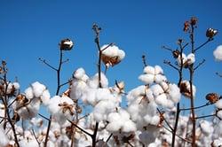 Cotton_500px