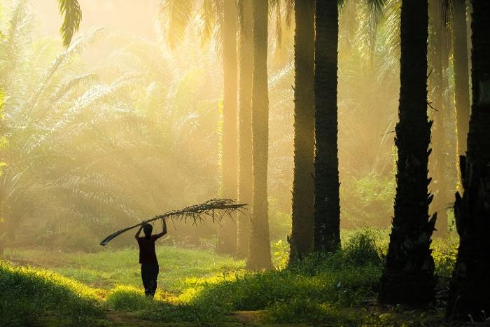 palm oil plantattion sunray-1-1
